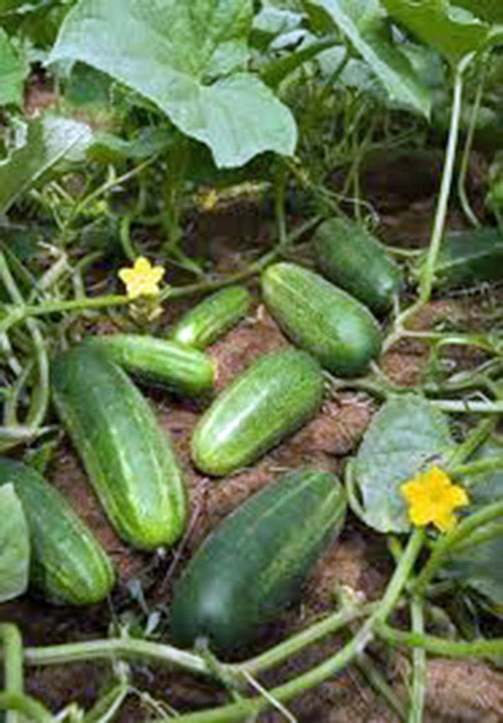 Cucumber, Marketer, Heirloom, Organic , Non-gmo Seeds, Tasty, Great For Salads/snacks