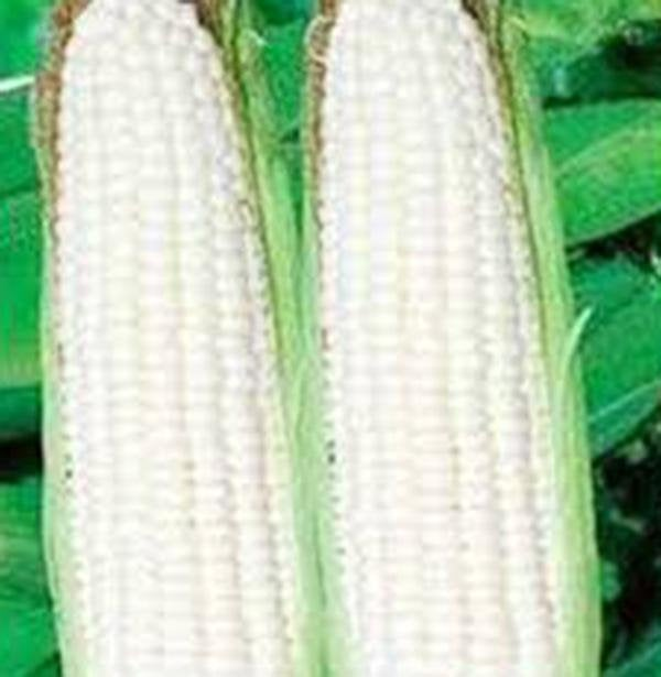 Corn, White, Stowells Evergreen, Heirloom, Organic Seeds, Delicious N Sweet