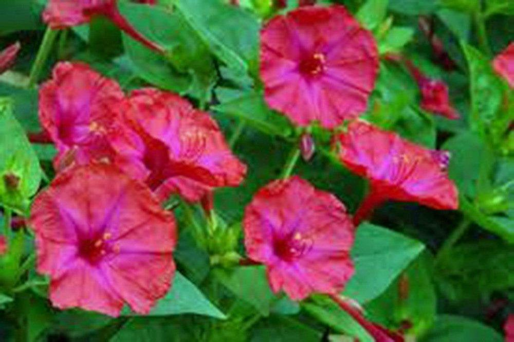 Four O'clock Bright Red/Magenta  Seeds Organic, Beautiful Vivid Redish Colored Bloom