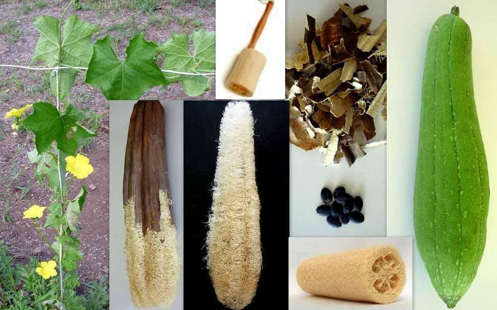 Gourd Luffa Seeds, Luffa Gourd Sponge Seeds, Organic , NON GMO, Grow your own Luffa Gourds and discover even more uses for this fascinating,