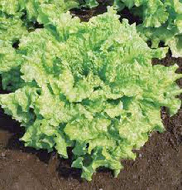 Lettuce, Leaf, Simpson Black Seed, Heirloom, Organic Non-gmo  Seeds, Delicious Crisp Greens