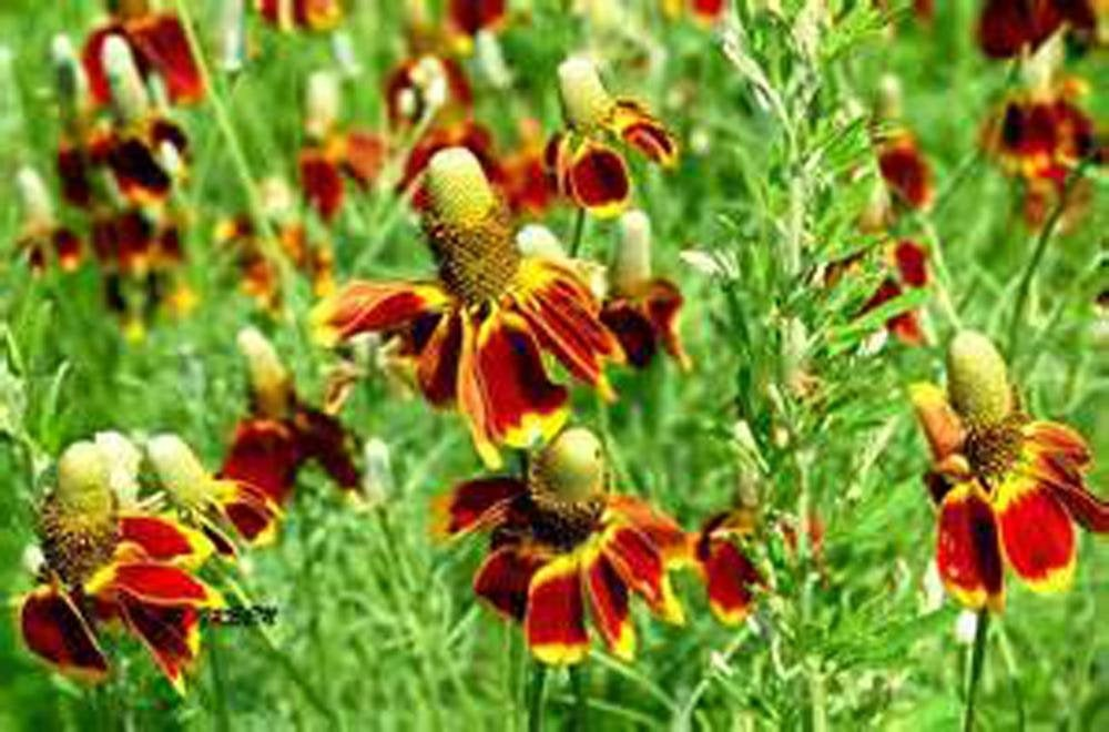 Mexican Hat Yellow Seeds, Flower Seeds,