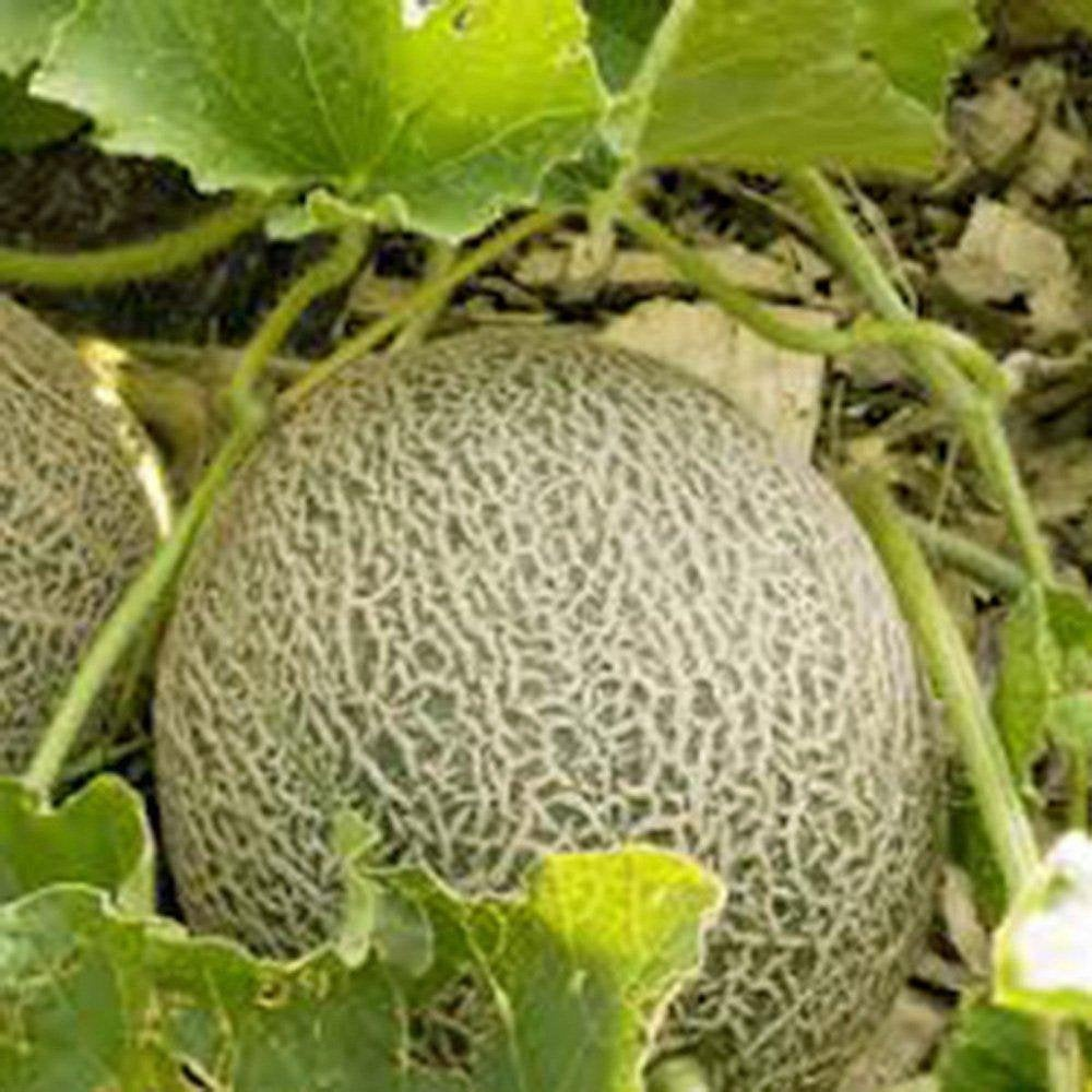 Muskmellon , Edisto 47 Sweet, Heirloom, Organic NON-GMO Seeds, Sweet and Delicious