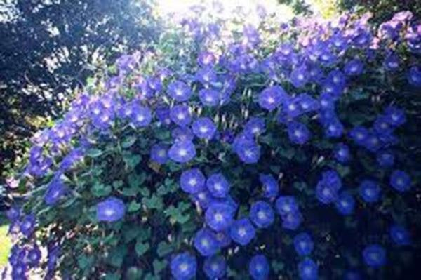 Morning Glory, Heavenly Blue, Seeds Organic, Beautiful Blue Season Long Blooms