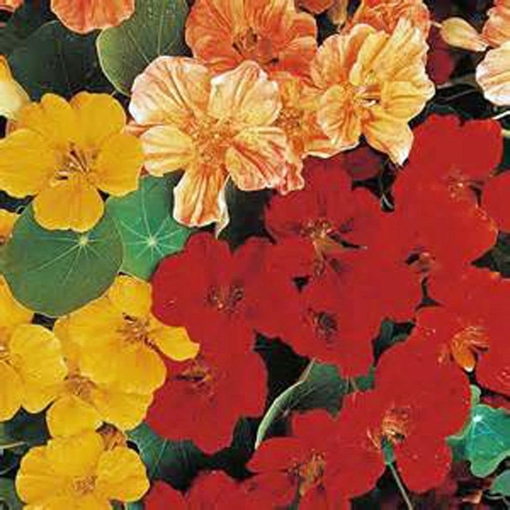 Nasturtium Seeds Whirly Bird Nasturtium Flower Seeds , Organic, Beautiful Bright Colorful Blooms