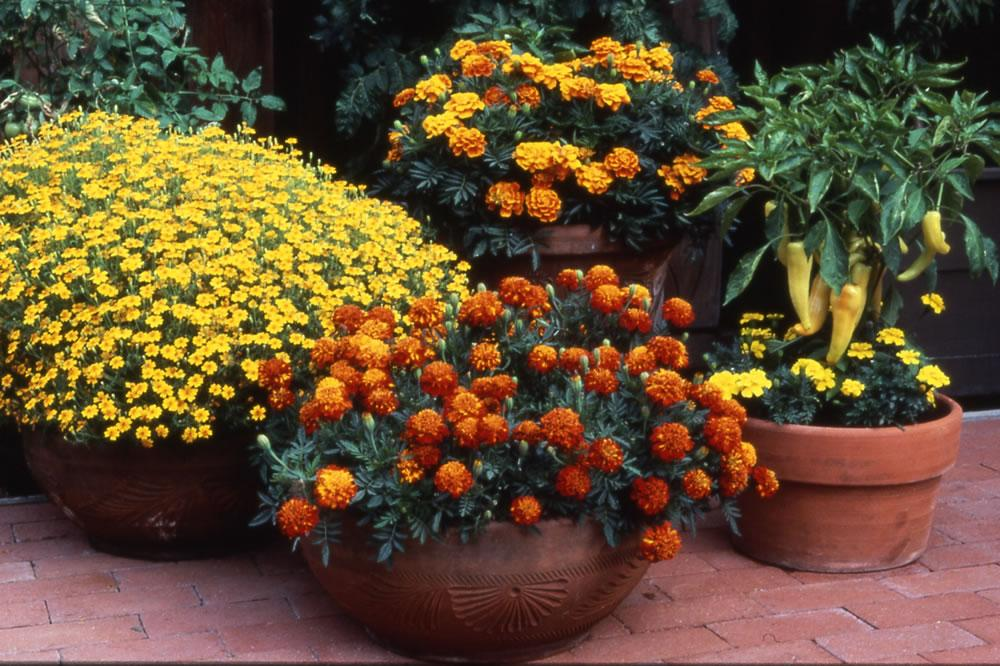 Summer blooming flowers for your balcony or terrace garden – #HappySummerGardening