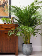 Load image into Gallery viewer, Areca Palm