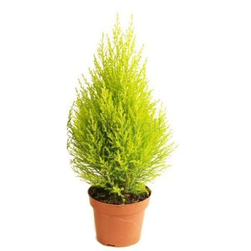 Cupressus Golden (In Pc)