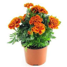 Load image into Gallery viewer, Marigold Plant (In Pc)