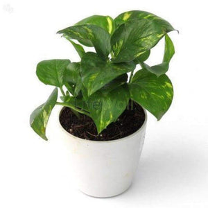 Money Plant Green (In Pc)