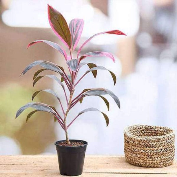 Darcena Plant (Red & Green)