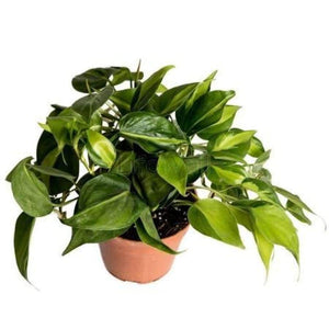 Philodendron Oxycardium Plant (In Pc)