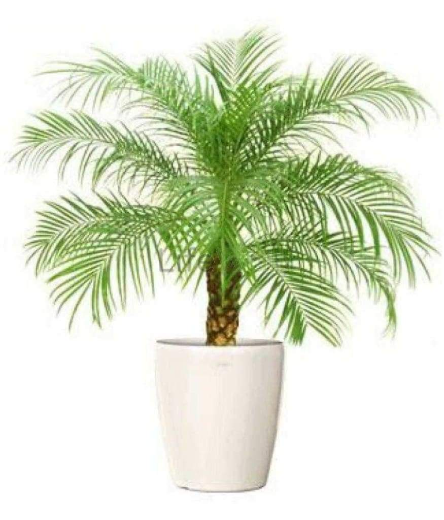Phoenix Palm (In Pc)