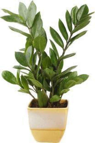 Saplera Plant (In Pc)