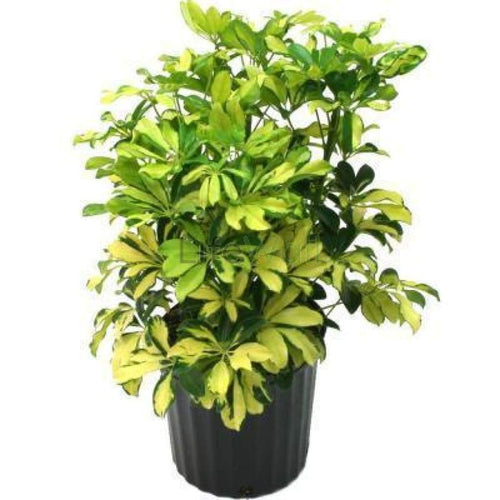 Saplera Varigated Plant (In Pc)