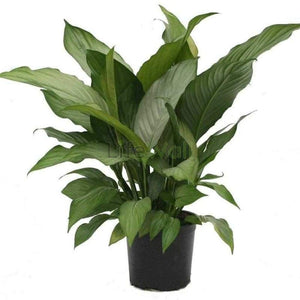 Spathiphyllum Plant (In Pc)