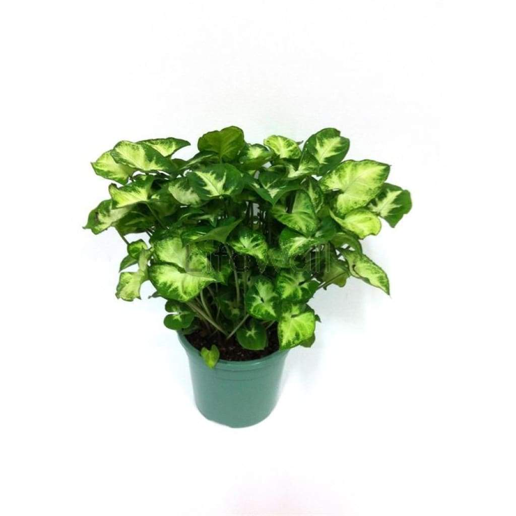 Syngonium Green Plant (In Pc)