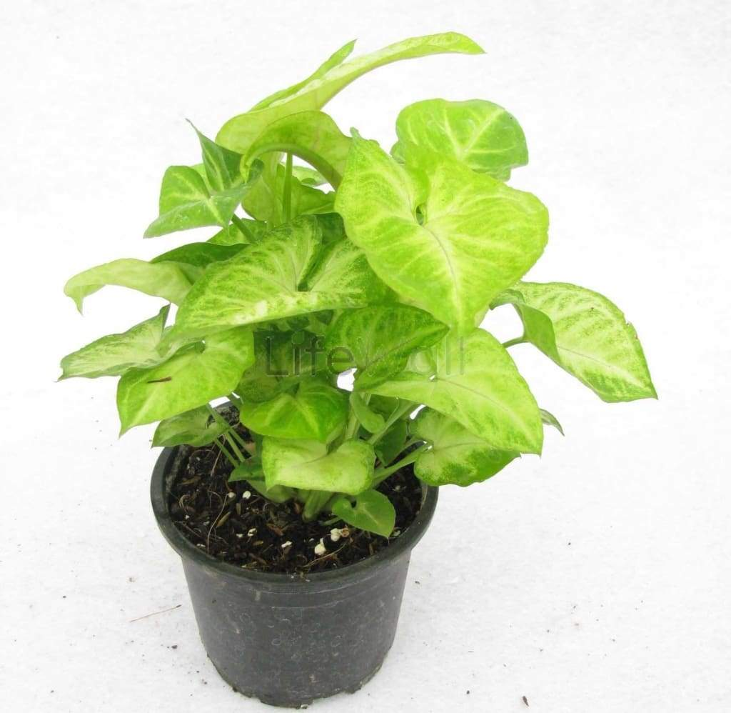 Syngonium White Plant (In Pc)