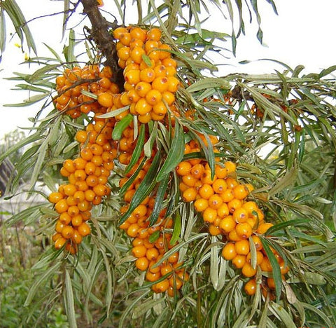 <b>Sea Buckthorn</b><br />High in vitamins, amino acids and protein<br />Contains omega 7, a rare essential fatty acid