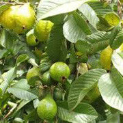 <b>Borojo</b><br />Great plant source of protein, vitamin C and Calcium;  High in fiber