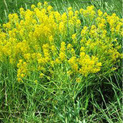<b>Dyers Woad</b><br />Very high in glucobrassicin, thought to have regenerative properties