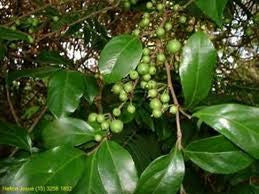 <b>Cha de Bugre</b><br />Used as a substitute for coffee for energy