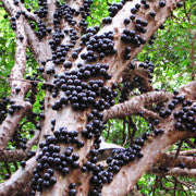 <b>Jabuticaba</b><br />Rich in a unique antioxidant compound called Jaboticabin<br />High in vitamin C and fiber.