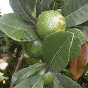<b>Lucuma</b><br />Good source of zinc, potassium, magnesium and vitamin B3