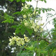 <b>Moringa</b><br />A nutritional powerhouse high in vitamins C and A, protein, calcium and potassium