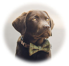 Labrador Wearing Harris Tweed Bow Tie