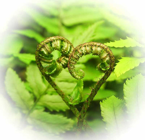 A HEART OF FERN white surround
