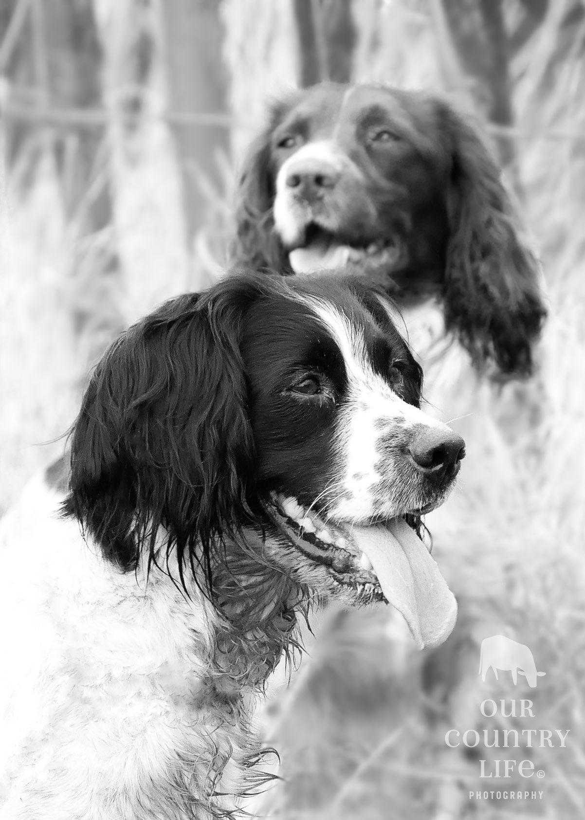 Teal and Fern Gun dogs