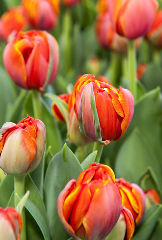 Tulips - Queensday