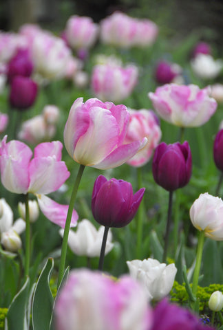 Tulips - Up Pink
