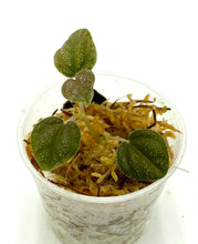 Load image into Gallery viewer, Peperomia antoniana