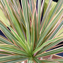 Load image into Gallery viewer, Dracaena Tronchetto of happiness