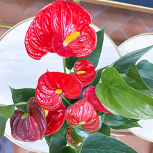 Load image into Gallery viewer, Red Anthurium