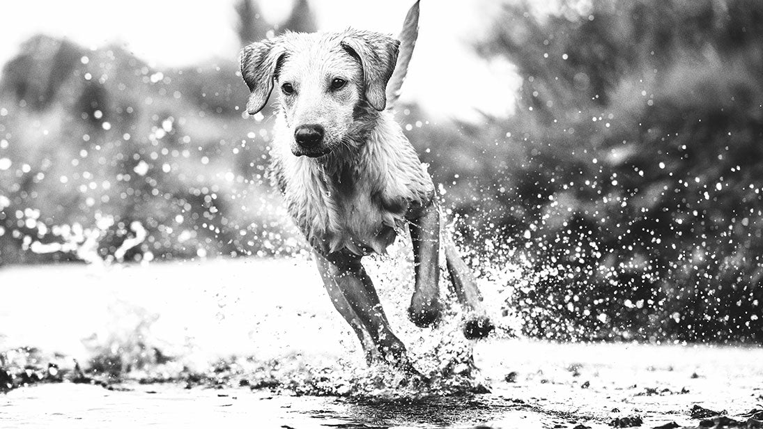 Black and white picture of a dog running through a puddle