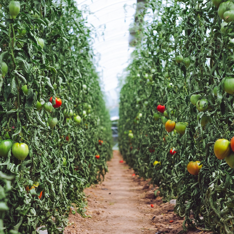 rows of growing tomato plants