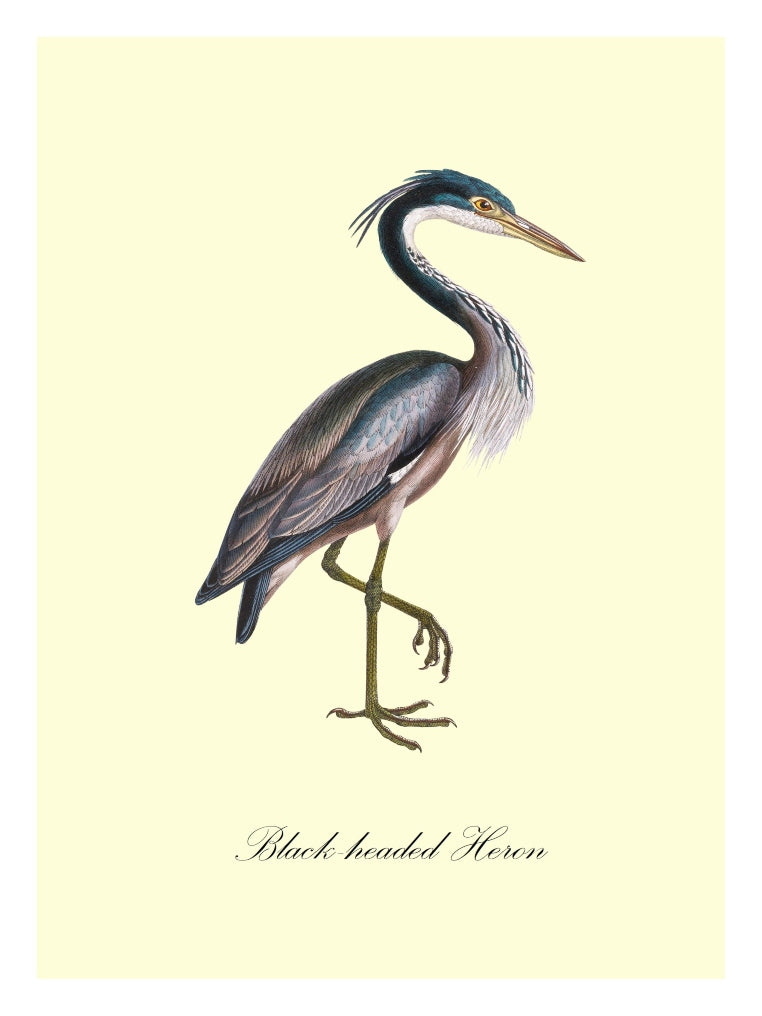 Black-Headed Heron - BLUE SHAKER