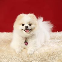 Chloe the Pomeranian - one of the popular small dog breeds