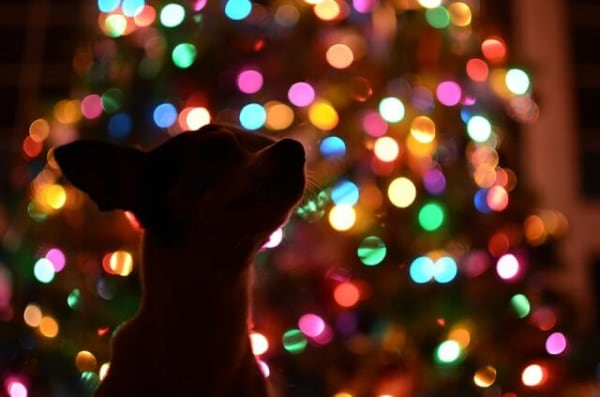Holiday pet safety. Silhouette of dog in front of a pretty lit Christmas tree.
