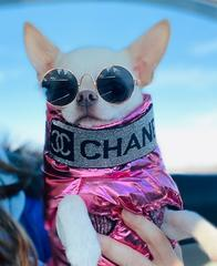 Chihuahua wearing sunglasses and a pink top