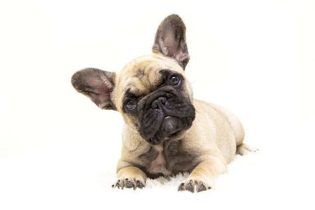 cute french bulldog puppy – great family dogs