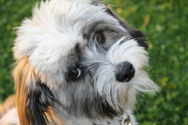 he playful Havanese is one of the 10 best small breed dogs for families