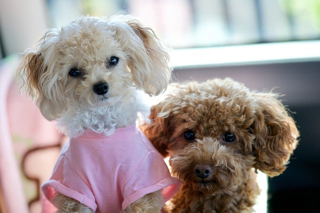 10 best small dog breeds for families - toy poodles