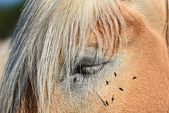 Black flies attack on the horse