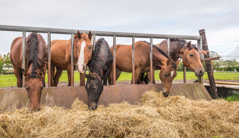 horses eating fresh hay between the bars of a rusty iron fence.