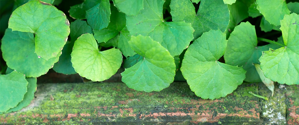 Brahmi for hair is one of the 12 herbs for hair growth