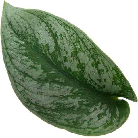 Scindapsus Silver Satin Pothos indoor potted plant
